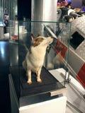 Strelka 其中一条狗,首先返回到地球从空间 免版税图库摄影