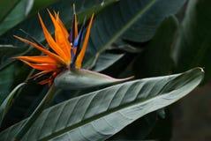 Strellizia reginae kwiat Zdjęcia Royalty Free