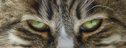 Strenge kat stock fotografie