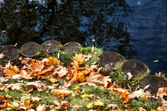 Strengthened coas. Maple leaves on the bank of a pond in park Royalty Free Stock Photography