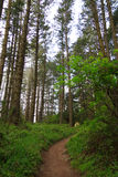 Uphill climb through tall trees and fog on the Dipsea Trail. A strenuous hiking trail that leads hikers up to the morning fog. Beautiful tall trees surround the Royalty Free Stock Photography