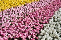 Strepen van tulpen Stock Fotografie