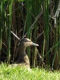 Strepera Mareca, утка озера из прятать Стоковое фото RF