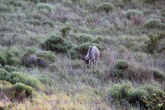 Strepsiceros Kudu maschio Koedoe del Tragelaphus immagini stock