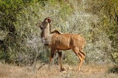 strepsiceros kudu tragelaphus Fotografia Stock