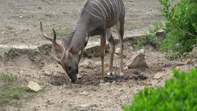 Strepsiceros masculino grande del Tragelaphus del antílope del kudu metrajes