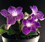 Streptocarpus Στοκ φωτογραφίες με δικαίωμα ελεύθερης χρήσης