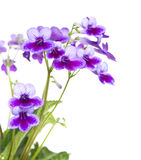 Streptocarpus (Cape Primrose), isolated on white Royalty Free Stock Photography