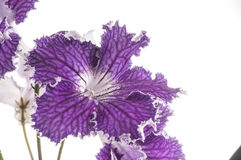 Streptocarpus flower over white background Stock Photo
