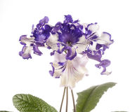 Streptocarpus flower over white background Stock Images