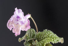 Streptocarpus flower Royalty Free Stock Photography