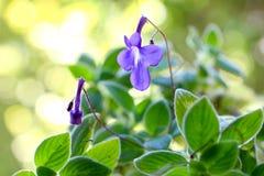 Streptocarpus Flowers Stock Photo