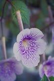 Streptocarpus i blom Fotografering för Bildbyråer
