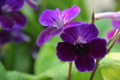 Streptocarpus. The purple blossom of a Streptocarpus blooming in Singapore Stock Image