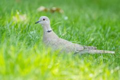 Streptopelia bird sits. In the green grass stock photography