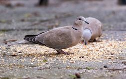 Streptopelia decaocto collared dove. Or also known as Streptopelia waiting for dinner time stock photos