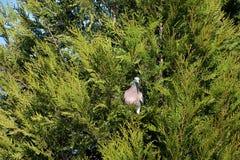 Streptopelia decaocto Vogel, der im Nest auf einem Baum sitzt Gr?nes thuje lizenzfreies stockbild