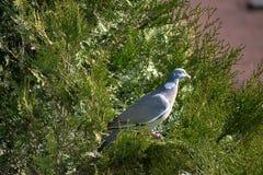 Streptopelia decaocto Vogel, der im Nest auf einem Baum sitzt Gr?nes thuje lizenzfreie stockfotos