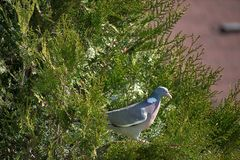 Streptopelia decaocto Vogel, der im Nest auf einem Baum sitzt Gr?nes thuje stockbild
