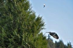 Streptopelia decaocto Vogel fliegt vom Nest in einem Baum Grünes thuje lizenzfreie stockfotos