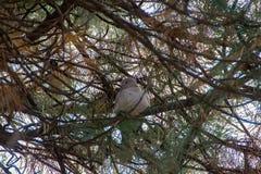 Streptopelia na drzewie zdjęcie royalty free