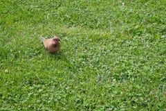 streptopelia senegalensis dove смеясь над стоковые изображения