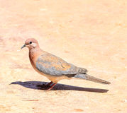 Streptopelia turtur. Standing on the ground, South Africa Stock Image