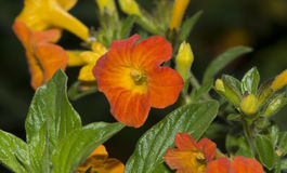 Streptosolen Jamesonii, The Marmalade Bush Flowers. Growing Streptosolen Jamesonii flowers, also known as the marmalade bush. Shallow depth used with primary Royalty Free Stock Photo
