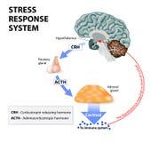 Stres odpowiedzi system Obraz Royalty Free