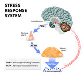 Stress response system. Stress is a main cause of high levels of cortisol secretion. Cortisol is a hormone produced by the adrenal cortex Royalty Free Stock Image