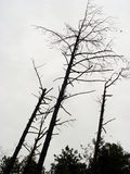 Stressed out. Dead trees with grey sky background stock photo