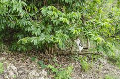 Stretch and Scrtatch. Growing vertically from the toppled Annona muricate are it`s branches while the main trunk of the tree, secured by roots lies horizontally stock photos