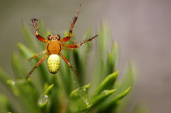 Stretch spider (tetragnatha). Spider close-up with needles of a pine in the background Stock Photo