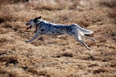 Stretched Out Dog Running in Midair Stock Photos