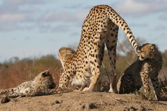 Stretching Cheetah Royalty Free Stock Photos