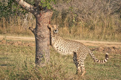 Stretching Cheetah Royalty Free Stock Images