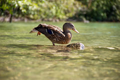 Stretching ducks Royalty Free Stock Images