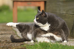 Stretching fatty. Beautiful fat cat with obesity doing some yoga in the garden in spring Stock Images