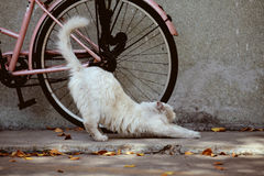 Stretching Foreign White cat Royalty Free Stock Photos