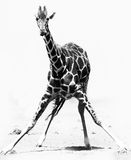 Stretching Giraffe Royalty Free Stock Image