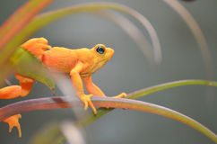 Stretching golden frog 4 Stock Photo