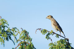 Greenfinch stretching Royalty Free Stock Photo