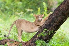 Stretching lion cub stock photo
