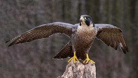 Stretching Peregrine Falcon. A Peregrine Falcon (Falco peregrinus) spreading it's wings while perched on a stump.  These birds are the fastest animals in the Royalty Free Stock Photography
