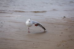 Stretching seagull Stock Photos