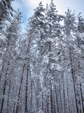 Stretching into the sky snow-covered trunks of fir trees and red pine of winter forest Stock Photography