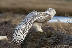 Stretching Snowy Owl. A young snowy owl (Bubo scandiacus) stretches a wing while resting at Boundary Bay, BC, Canada. Once every several years, large numbers of stock photos