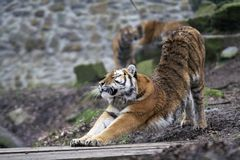 Stretching tiger. Slightly muddy siberian tiger stretching out after nap stock image