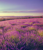 Stretching to the horizon field of levender flowers Stock Photo