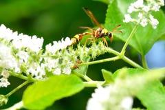 Stretta della vespa sulla filiale immagini stock
